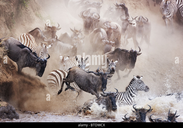 Wildebeest and zebra crossing the Mara River.Masai Mara National Reserve. Kenya - Stock Image