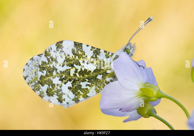 Orange-tip (Anthocharis cardamines) adult butterfly roosting at dusk on a Lady's Smock (Cardamine pratensis) - Stock-Bilder