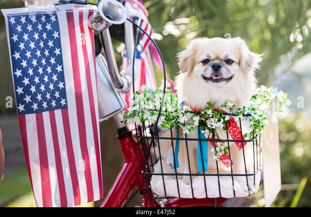 A dog rides in a bicycle basket decorated in flags during the I'On community Independence Day parade July 4, - Stock-Bilder