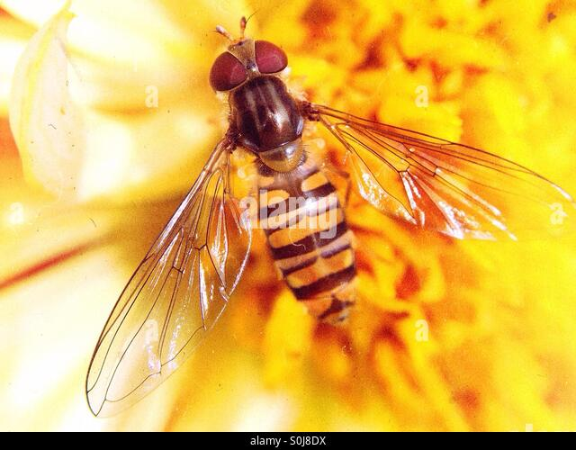 Close up of a wasp on a yellow dahlia - Stock Image
