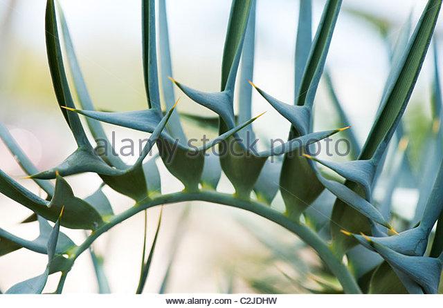 Encephalartos horridus. Eastern Cape Blue Cycad - Stock Image