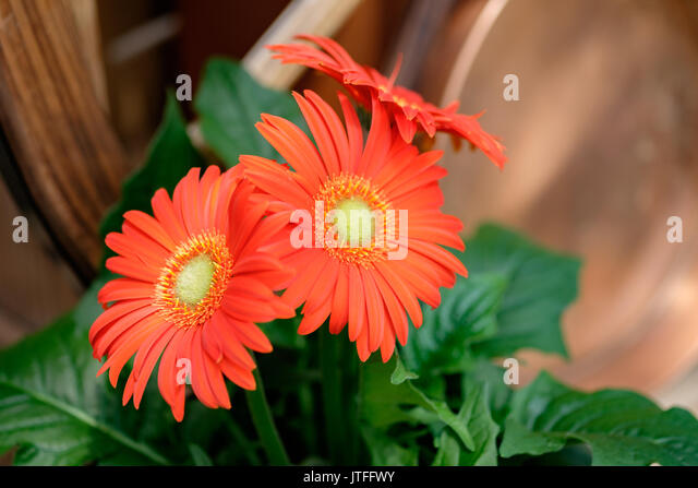 Red shasta daisies growing in a plant nursery setting. - Stock Image