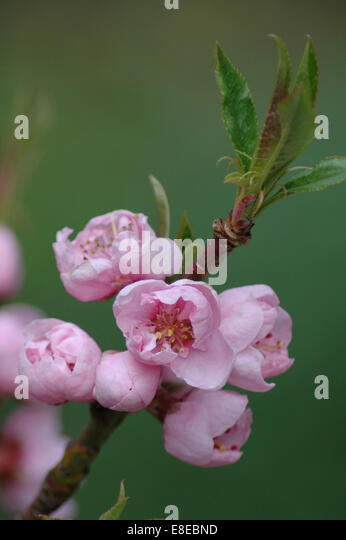Pink bud flowers on tree branch - Stock Image