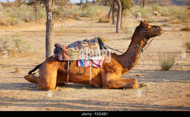 Camel in the Thar Desert near Jaisalmer, Rajasthan, India - Stock-Bilder
