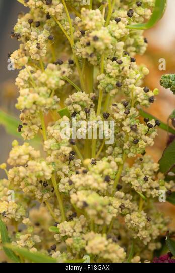 Como plantar quinoa  Hortasinfo