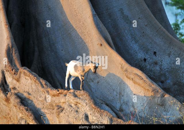 Goat, The Gambia, West Africa - Stock-Bilder