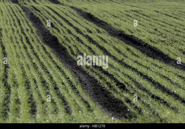 Sprouting winter wheat, or other cereal crop. Possible GM concept. - Stock Image