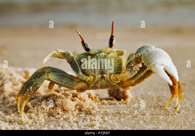 Horned ghost crab Ocypode ceratopthalnus On sea shore Mozambique Dist tropical islands and oceans worldwide - Stock Image
