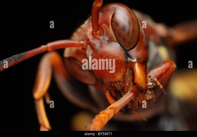 A red wasp cleaning the legs with the complex tongue to clean the eyes after. - Stock Image