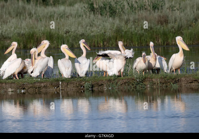Great white-pelican, Pelecanus onocrotalus, Group by water, Romania, June 2016 - Stock Image