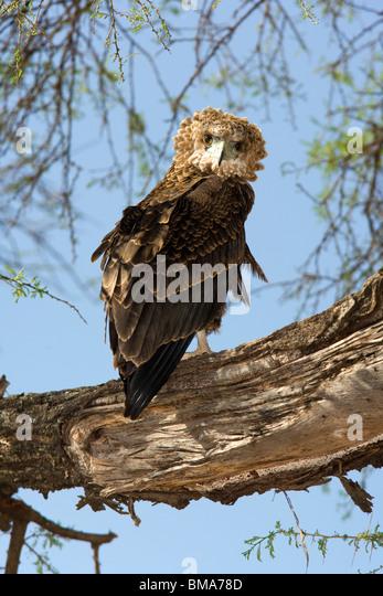 Bateleur Eagle - Samburu National Reserve, Kenya - Stock Image