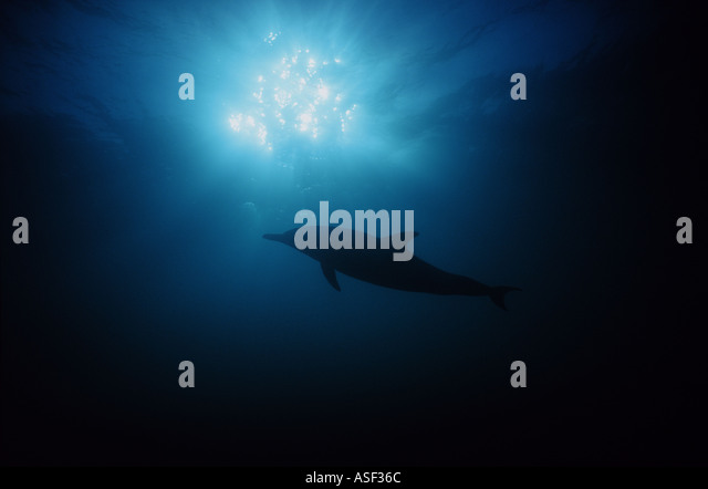 Common dolphin Delphinus delphis swimming underwater silhouetted against sunlit surface of sea Bay of Plenty New - Stock Image