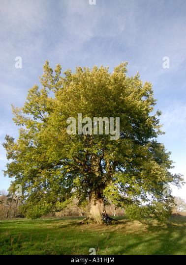 A fine specimen of an oak tree in full leaf in mid winter - Stock Image