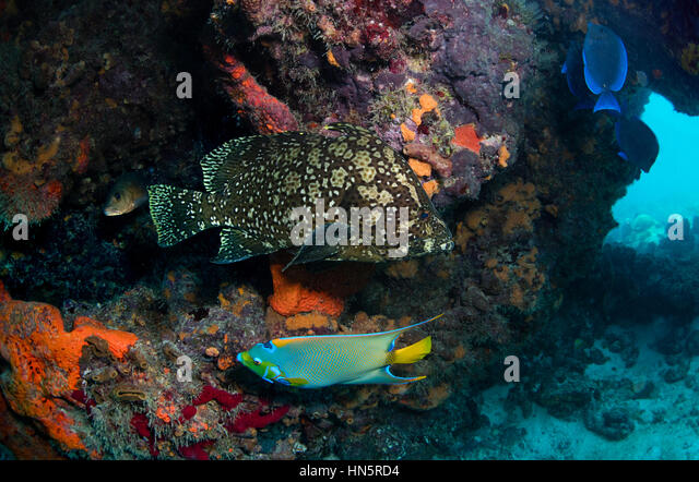 The rarely seen Marbled grouper and Queen angelfish. - Stock-Bilder