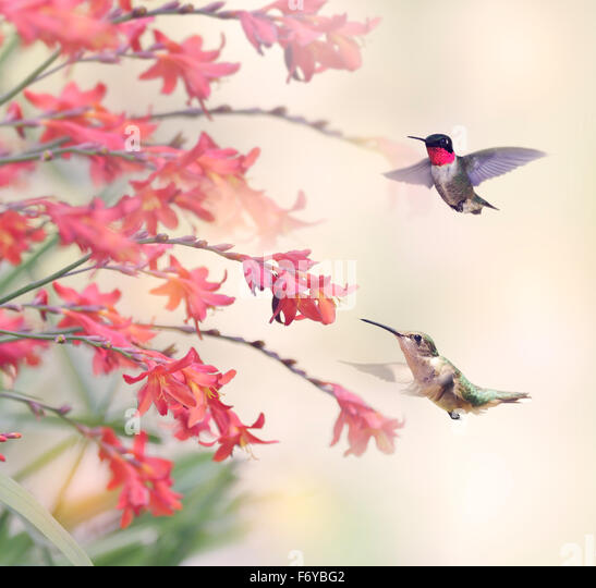 Two Hummingbirds and Red Flowers - Stock-Bilder