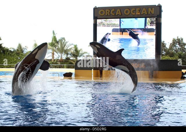 Puerto de la Cruz, Spain, orcas show in Loro Parque their Kunststuecke - Stock Image