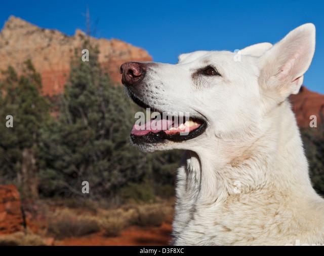 White German Shepherd in Sedona - Stock Image