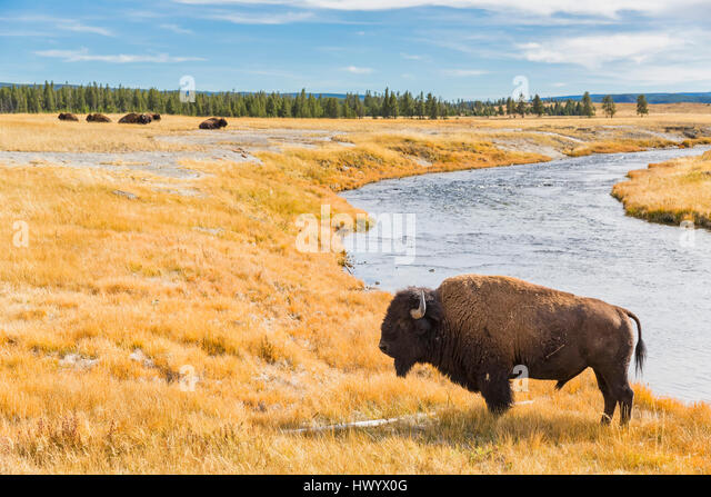 asian singles in yellowstone national park United states, wyoming, yellowstone national park, bison near madison river canvas from $11499  a single tree in blowing snow on a ridge top canvas from $13499.
