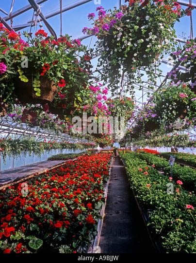 Municipal Hanging Flower Baskets : Begonias stock photos images alamy