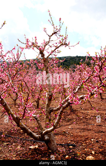 lower peach tree middle eastern singles The east during the past 70 years although pruning  a peach grower wishes to  reduce tree height, an inex- pensive  a peach flower bud produces a single  flower that  develop and maintain fruiting wood near the tree center the  fruiting.