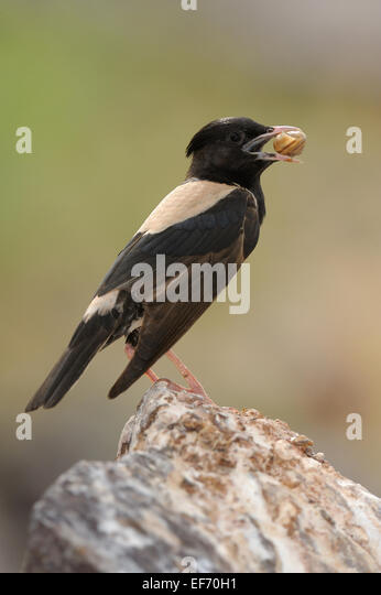 Rosy Pastor in Sorbulak lake, southern Kazakhstan, bird with prey - Stock Image