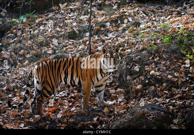 Panthera tigris tigris - Stock Image