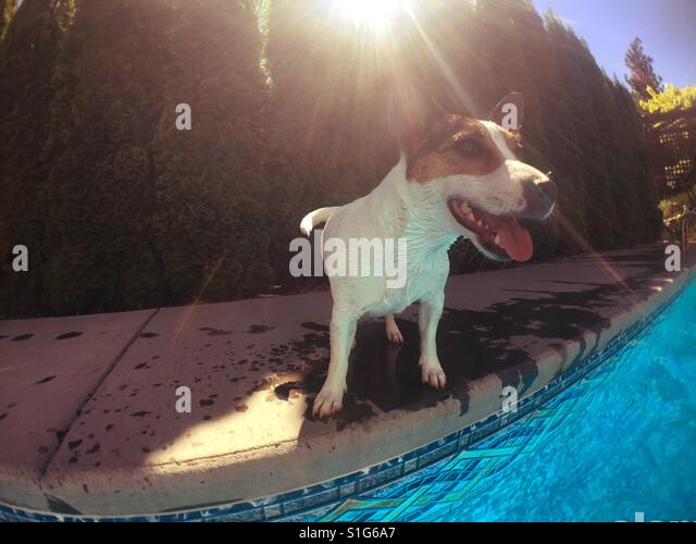 Dog panting poolside on a hot sunny day. - Stock-Bilder