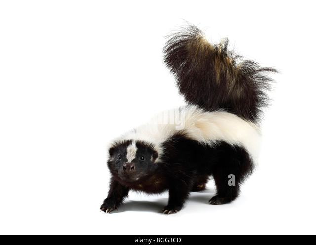 Portrait of a Skunk - Stock Image