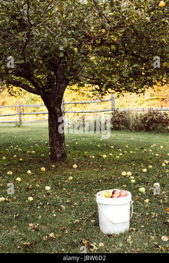 Apple tree surrounded by fallen apples, bucket full of apples in foreground - Stock-Bilder