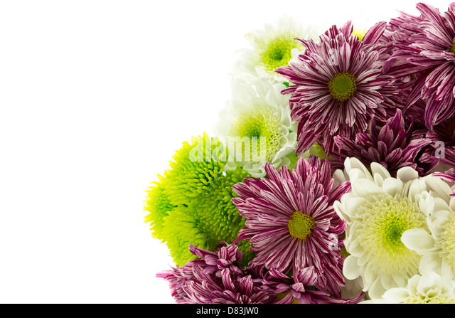 Red striped,green and white chrysanthemum flowers. - Stock Image