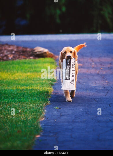 Golden Retriever dog bringing in the morning newspaper - Stock Image
