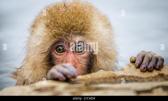 Japanese macaque sitting in water in a hot spring. Japan. Nagano. Jigokudani Monkey Park. An excellent illustration. - Stock Image