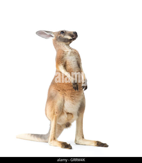 Red kangaroo on white background - Stock Image