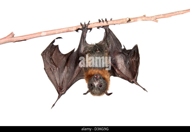 grey-headed flying fox photographed in a studio suitable for cut-out - Stock-Bilder