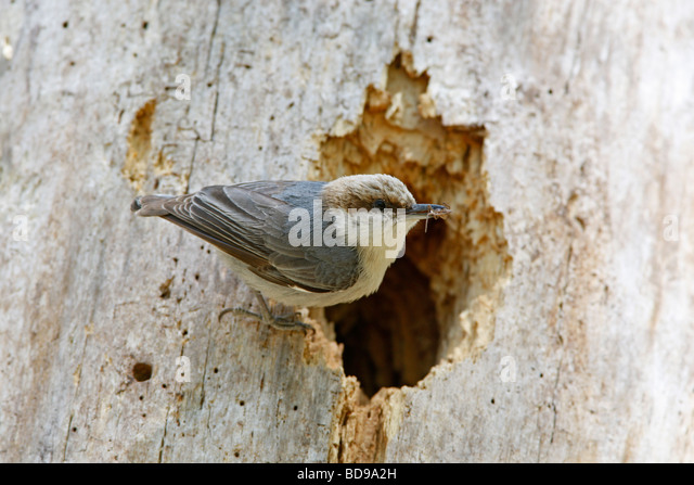 Brown headed Nuthatch perched at Nest Cavity - Stock Image