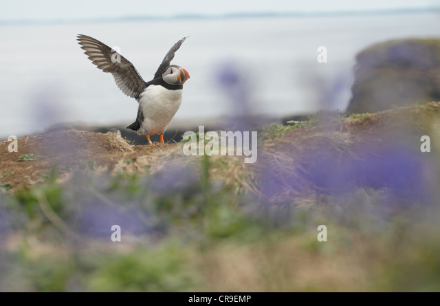 Puffin with wings spread and bluebells in the foreground.  Island of Lunga, Scotland. - Stock Image