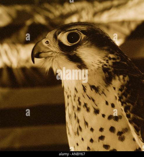 Falcon head Black and White - Stock Image