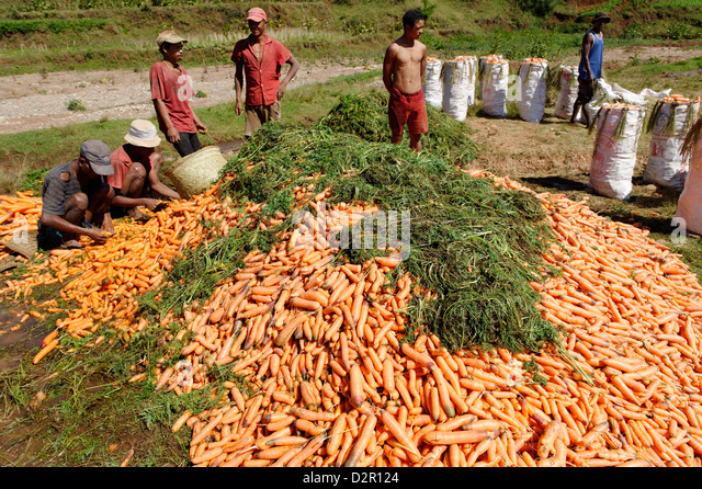 Carrot harvest, Vakinankaratra region, Madagascar, Africa - Stock Image