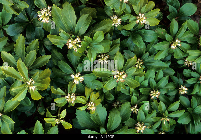 pachysandra stock photos pachysandra stock images alamy. Black Bedroom Furniture Sets. Home Design Ideas