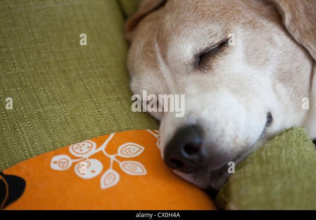 Sleeping Beagle Dog - Stock Image