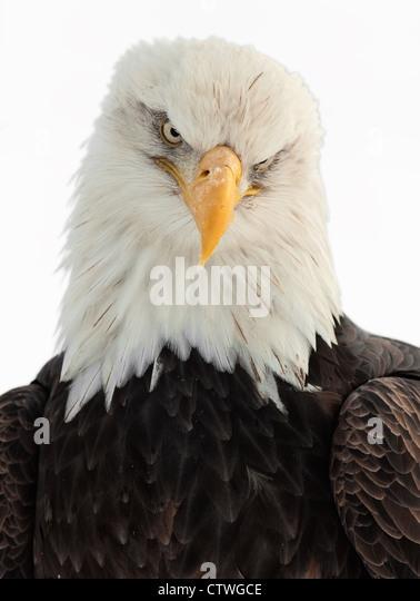 Bald Eagle Portrait - Stock-Bilder