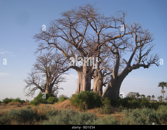 BAOBAB  trees (Adansonia digitata) on the coast of Senegal near the northern limit of its range - Stock Image
