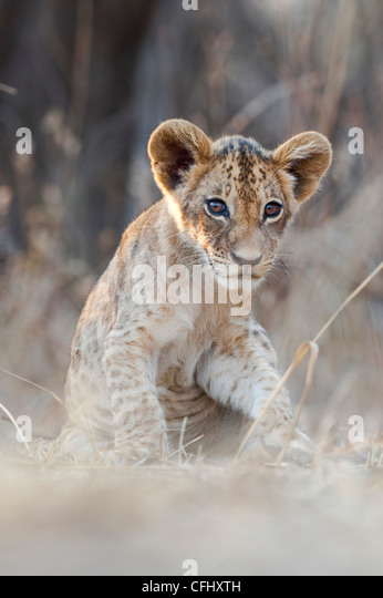 African Lion cubs, approx 3 months old, South Luangwa National Park, Zambia - Stock-Bilder