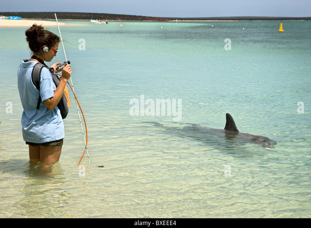 Woman with sound recording equipment studying echo location in Bottle nosed dolphins at Monkey Mia in Western Australia - Stock Image