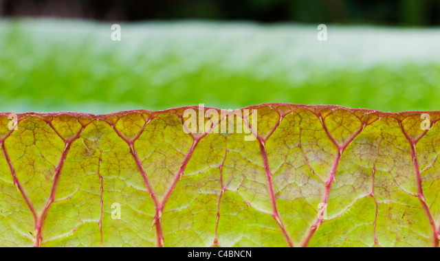 Victoria cruziana leaves. Santa Cruz water lily leaf. Giant water lily - Stock Image