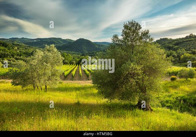 A vineyard at Castello Di Pontentino, nr Seggiano, Province of Grosseto, Tuscany, Italy - Stock-Bilder