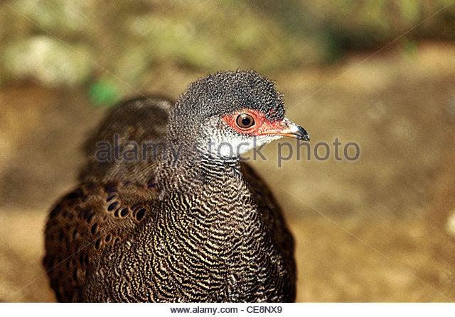 PSL 80107 : Bird deodarik india - Stock Image