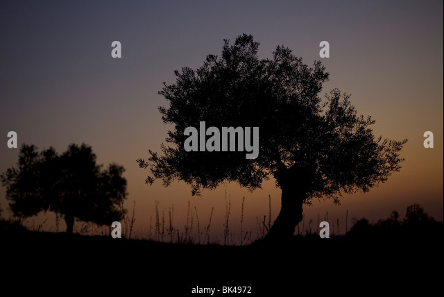The sun sets behind olive trees in Villamartin, Cadiz Province, Spain, March 24, 2008. Photo/Chico Sanchez - Stock Image
