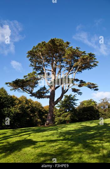 Lebanon Cedar in Castleward Domain near Strangford, County Down,  Northern  Ireland; - Stock Image