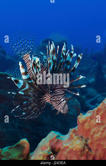 Invasive lionfish on reef in the Caribbean. - Stock-Bilder